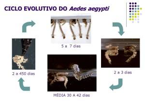 ciclo aedes