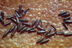 ovos aedes
