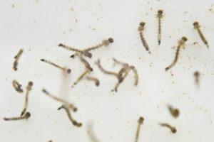 larvas-maiores
